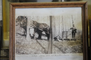 Steve Glabach's father collecting sap with a team of horses and a sled