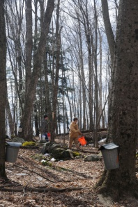 Gathering sap from traditional buckets