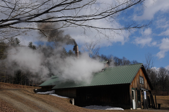 When maple sap is boiled down, water vapor forms and pours out of windows built into the top of the sugarhouse