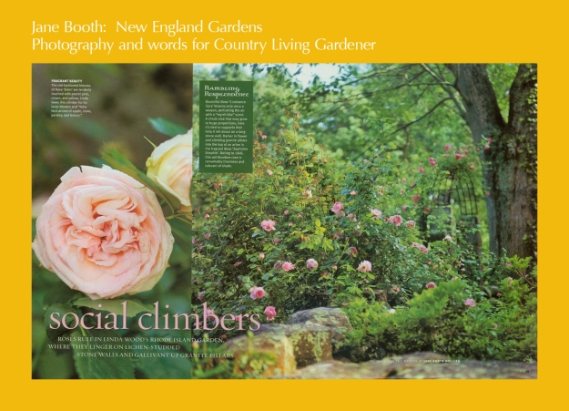 Social Climbers  -- roses rule in Linda Wood's Rhode Island garden where they linger on lichen-studded stonewalls and gallivant up granite pillars.