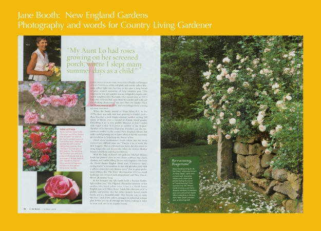 Linda Wood has planted two dozen rose cultivars in her backyard paradise including a David Austin 'Mary Rose', 'The Fairy', 'New Dawn', a David Austin shrub rose, 'Constance Spry', 'Zephirine Drouhin', Rosa 'Excelsa', 'Fair Bianca', and 'The Pilgrim'.